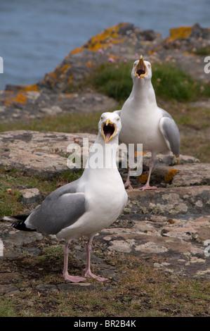 Herring Gulls Larus argentatus calling on a Cornish clifftop Cornwall England UK