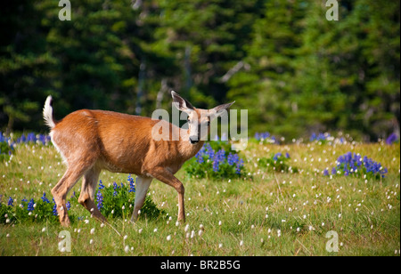 Black-tailed deer, Hurricane Ridge, Olympic National Park, Washington. - Stock Photo