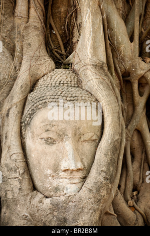 Stone Buddha head embedded in bodhi tree roots at Wat Mahathat Buddhist temple ruins, Ayutthaya, Thailand. - Stock Photo