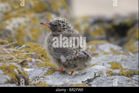 Arctic tern chick (Sterna paradisaea) on the Farne Islands, Northumberland, England. - Stock Photo