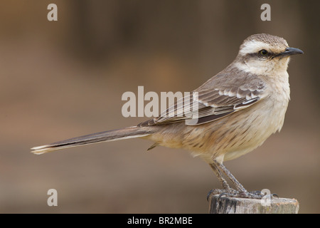 Chalk-browed mockingbird perched on fence post with gray background in the Brazil Pantanal - Stock Photo