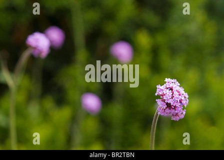Verbena bonariensis patagonica - Stock Photo
