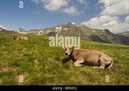 domestic cattle (Bos primigenius f. taurus), cows lying on a meadow in the Pyrenees - Stock Photo
