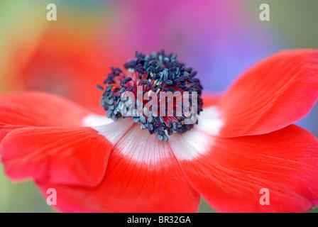 A single red & white Anemone flower head, Anemone coronaria de Caen strain - windflower - Stock Photo