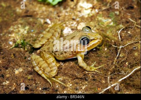 Greek March Frog (Pelophylax kurtmuelleri, Rana kurtmuelleri, Rana balcanica), young Greek March Frog, Greece, Peloponnes, - Stock Photo
