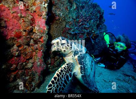 Scuba diver meets Hawksbill turtle, (Eretmochelys imbricata), Key Largo, Florida - Stock Photo