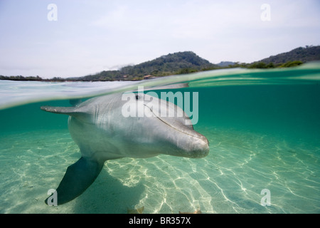 Atlantic bottlenose dolphin (Tursiops truncatus), Roatan, Honduras - Stock Photo