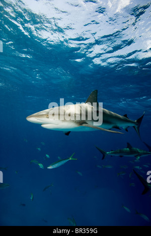 Frenzied activity involving Caribbean reef sharks (Carcharhinus perezi), New Providence, Bahamas - Stock Photo
