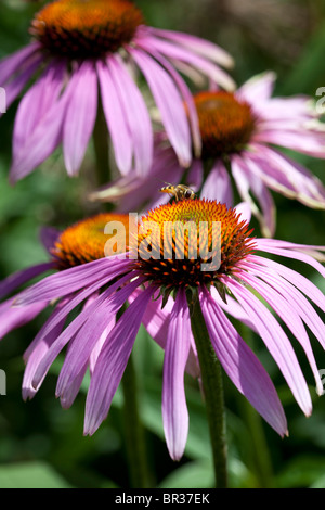 Echinacea Purpurea 'Rubinstern' and a Hoverfly photographed in Yorkshire, UK - Stock Photo