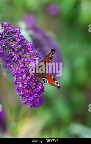 Buddleja and Peacock butterfly photographed in Yorkshire, UK - Stock Photo