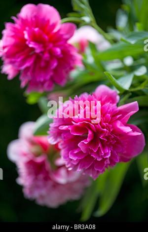 Beautiful deep pink Paeonia officinalis - Stock Photo