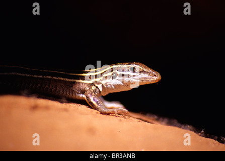 A plateau striped whiptail lizard, Aspidoscelis velox, in Sedona, Arizona - Stock Photo