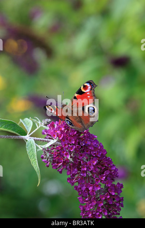 Buddleja and Peacock butterfly - Stock Photo