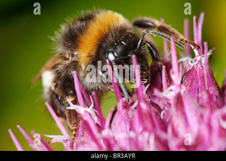 Bumblebee feeding on an Alium flower. Possibly Bombus terrestris, a Buff-tailed Bumblebee. - Stock Photo