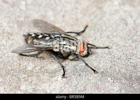 A Flesh Fly. Possibly a Common Flesh Fly, Sarcophaga carnaria. - Stock Photo
