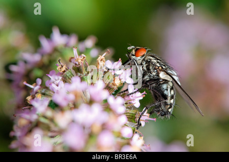 A Flesh Fly feeding on Thyme. Possibly a Common Flesh Fly, (Sarcophaga carnaria - Stock Photo