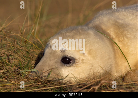 Atlantic Grey Seal pup, Halichoerus grypus, photographed at RAF Donna Nook,  Lincolnshire on the east coast of England - Stock Photo