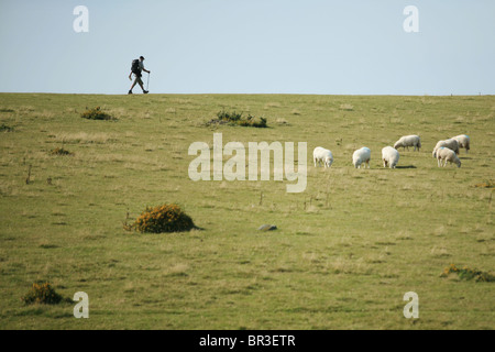 Hiker in Black Mountains, Wales, UK, with sheep in foreground - Stock Photo