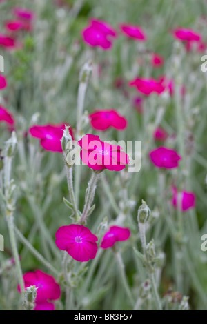 Bright Pink flowers and silvery foliage of Lychnis coronaria; Rose Campion, Dusty miller - Stock Photo