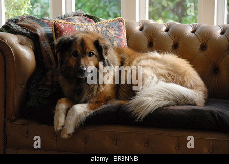 A dog of mixed breed,named Teddy, lying on a couch - Stock Photo