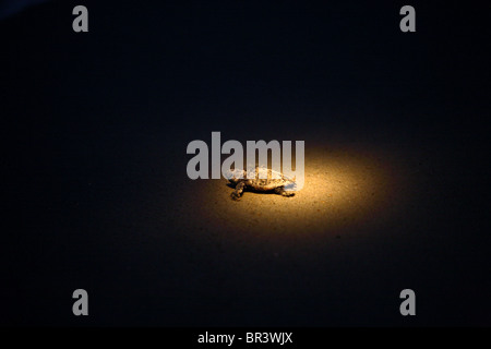 Baby turtles guided by flashlights - Stock Photo