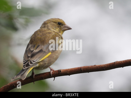 Greenfinch (Carduelis chloris) resting on a twig in autumn. - Stock Photo