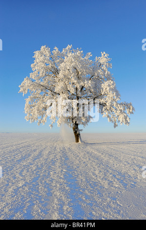 Pedunculate Oak (Quercus robur), coated with white frost, Lindeberg, Aargau, Switzerland, Europe - Stock Photo