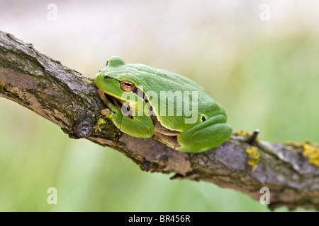 Tree frog, Hyla arborea, Neusiedler See, Burgenland, Austria, Europe - Stock Photo
