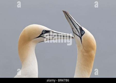 Northern Gannet courtship pair - Stock Photo