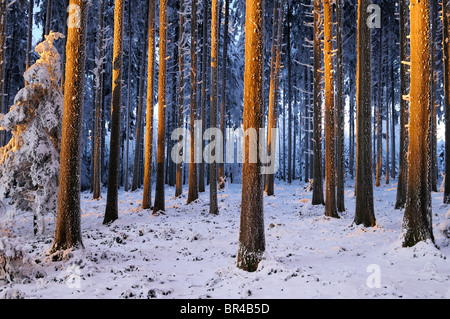 Spruce forest in the light of the setting sun - Stock Photo