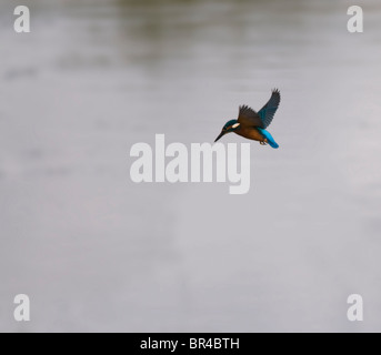 Common Kingfisher Hovering before diving for prey - Stock Photo