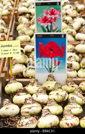 Giant Amaryllis bulbs on sale at Amsterdam Flower Market, Holland - Stock Photo