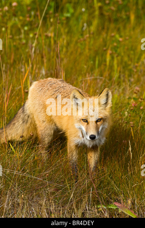 A wild red fox - Stock Photo