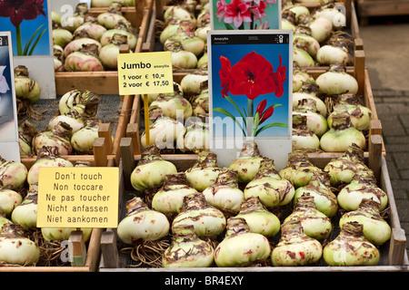Giant Amaryllis bulbs on sale at Bloemenmarkt the Amsterdam Flower Market, Holland - Stock Photo