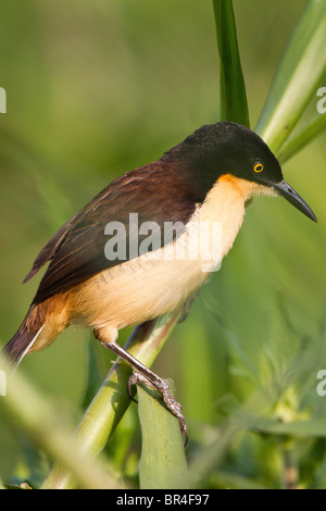 Donacobious bird perched in green grass in the Brazil Pantanal - Stock Photo