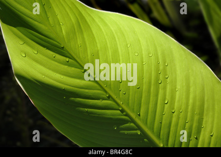 Large green leaf lit from behind showing veins and texture for use as ecological background - Stock Photo