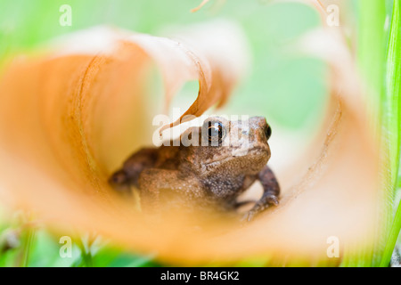Young Toad in curled up leaf - Stock Photo