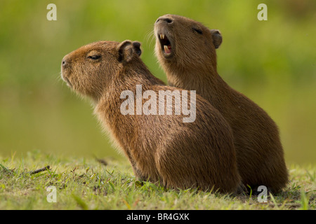 Two capybara babies playing with each other in the Brazil Pantanal - Stock Photo