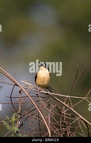 Donacobious bird perched against a green background in the Brazil Pantanal - Stock Photo