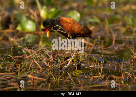 Wattled jacana walking and scratching itself in the Brazil Pantanal - Stock Photo