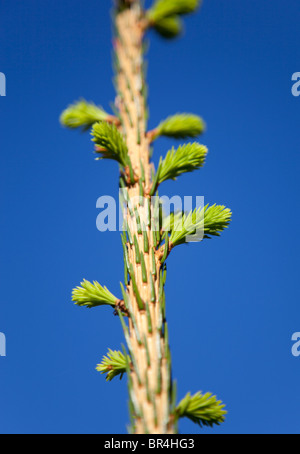 The annual growth and new branches budding on spruce tree ( picea abies ) - Stock Photo