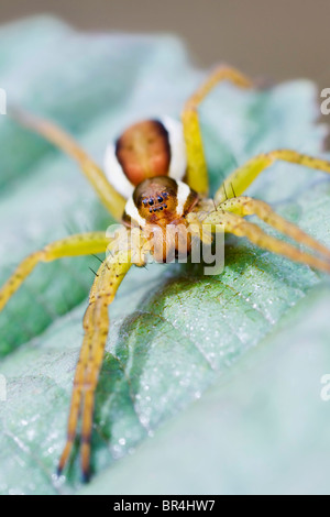 Raft Spider sat waiting on a leaf - Stock Photo