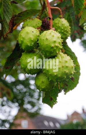 Horse Chestnut (Aesculus hippocastanum) tree with a bunch of Horse Chestnuts or conkers - Stock Photo