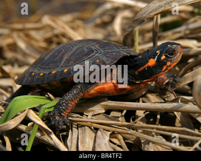 Juvenile Spotted Turtle (Clemmys guttata) Resting in a Fen in Ontario, Canada - Stock Photo