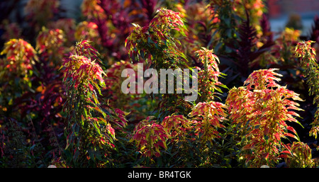 A bank of vivid colored Joseph's Coat Amaranths (Amaranthus tricolor) in a garden. Massif d'amaranthes tricolores - Stock Photo