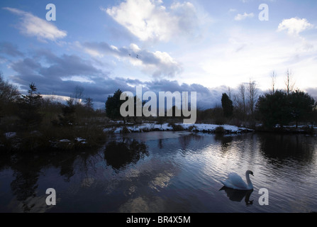 Swan swims serenely on a lake during winter sunny afternoon - Stock Photo