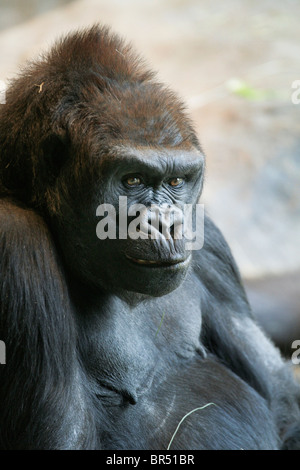 Adult female Western lowland gorilla at a zoo in Seattle Washington. - Stock Photo