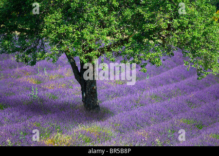 Europe, France, Vaucluse (84), Tree in a lavender field - Stock Photo