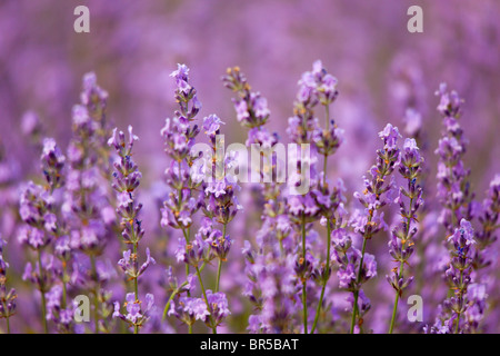 Europe, France, Vaucluse (84), Lavender Field in Provence - Stock Photo