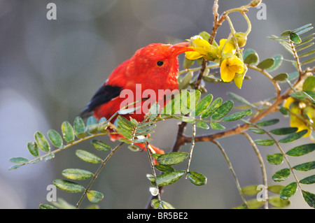 One 'I'iwi bird extracting nectar from yellow tree flowers in Maui, Hawaii Islands, Hawaii, USA. - Stock Photo
